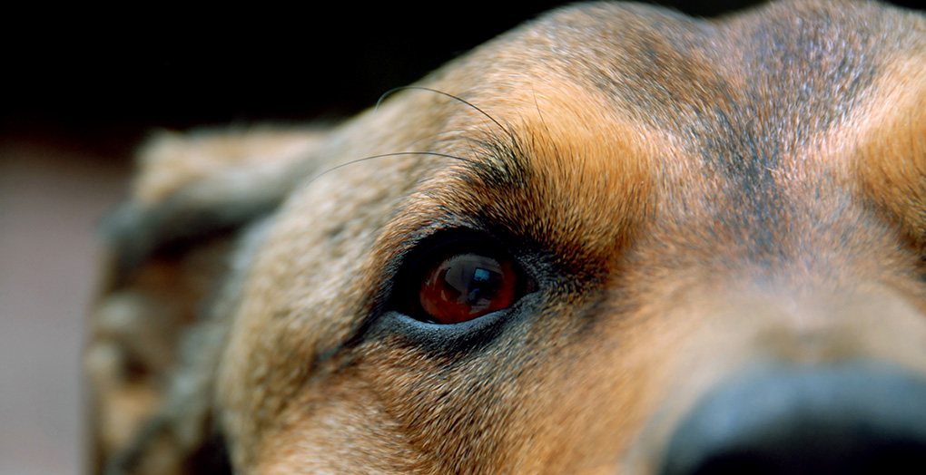 close up on eyes of a brown dog