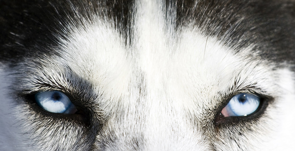close up on eyes of a Siberian Husky