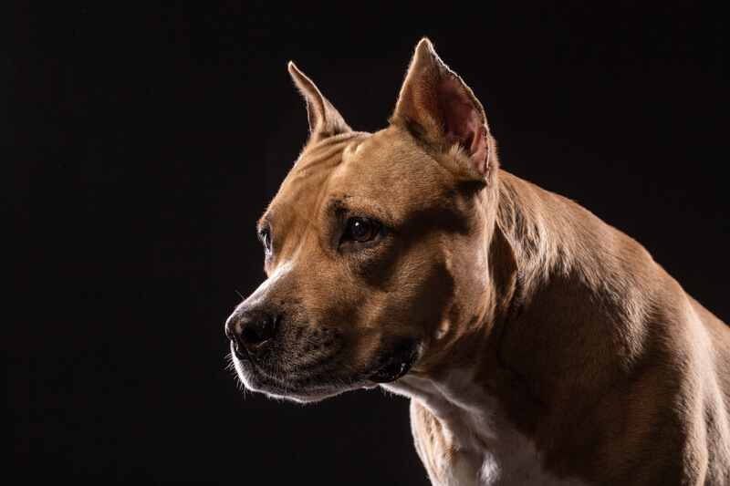 Pit bull dog portrait close-up in studio with black background