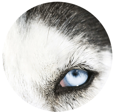 closeup on a husky's eye